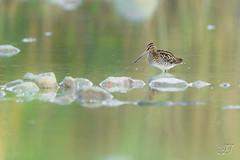 Bécassine des marais (Tifaeris) Tags: bã©cassinedesmarais charadriiformes commonsnipe gallinagogallinago scolopacidã©s bird oiseau