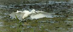Little Egret ~ Egretta garzetta (Cosper Wosper) Tags: egrettagarzetta littleegret hamwall levels somerset white heron ardeidae