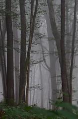 It was a foggy hike ... (:Linda:) Tags: germany thuringia village veilsdorf leite beechtree mist