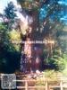 161010j (finalistJPN) Tags: yakushima island jomonsugi 3000years ceder tree gianttree bigtree worldheritage journey discoverjapan naturephoto nationalgeographic discoverychannel japanguide traveljapan