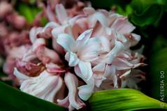 Hyacinths (Asteria D.) Tags: purple nature plant flower colorful hyacinth closeup