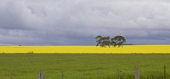 spring colours (Toky, Lily and George moments) Tags: canolafield volcanocountry smeaton clunes centralvictoria farmland rural colours yellowgreenblue australia spring springcolours blampied