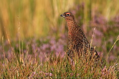 Red Grouse (Steve Moore-Vale) Tags: angiosperms asterids birds callunavulgaris commonheather england ericaceae eudicots florafauna lagopuslagopus places redgrouse unitedkingdom wildlife yorkshire colourful ericales gamebird grinton moor morning plantae plants