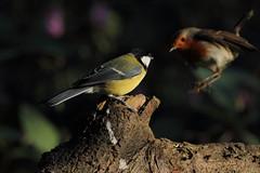In the blink of an eye (david.england18) Tags: greattit robinredbreast blinkofaneye robin smallbirds various tits blue coal nuthatch queensparkheywood birdsuk canon7d canonef300mmf4lisusm birds