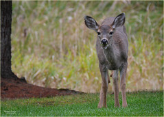 big ears, bad manners (marneejill) Tags: deer young chewing grass direct look eating open mouth