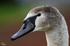Prince of Birds (Stuart_Byles) Tags: steadygaze youth singleeye head swan headshot cygnet regal eye proud