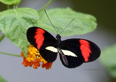 Heliconius erato (close-up) (Thrush-Nightingale) Tags: papillon greenhouse serre exotique exotic tropical butterfly butterflies heliconius erato heliconiuserato lpidoptre insect insecte