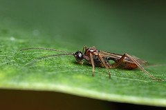 Small Ichneumon wasp #1 (Lord V) Tags: macro bug insect wasp ichneumon