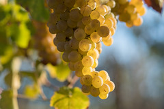October Verdicchio