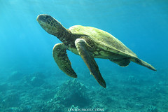IMG_0114 (Aaron Lynton) Tags: lyntonproductions scuba diving snorkel underwater maui hawaii onebreath turtle honu hawaiiangreenseaturtle hawaiian greenseaturtle seaturtle canon g1x