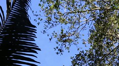 Flying monkeys (Nanak26) Tags: flying jumping squirrel monkey monkeys singes singe saimiri saimirinae scream cri cebidae singescureuils sapajou sapajous singecureuil saut arbre totenkopfaffen cebus affe cureuils per sudamrica prou latinoamrica peru per colorful geotagged high pachamama rainforest tropical swamps mangrove puertomaldonado rio madrededios nature naturaleza equatorial wild selva jungle