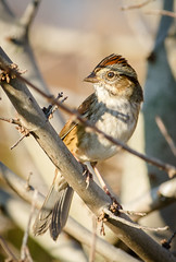 Swamp Sparrow (tresed47) Tags: 2016 201610oct 20161018bombayhookbirds birds bombayhook canon7d content delaware folder peterscamera petersphotos places sparrow swampsparrow takenby us