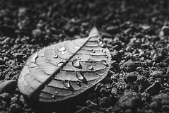 Leaf with water drops-B&W (imageseekertoo (Wendy Elliott)) Tags: kamloopsbc leaf leafwithraindrops leafwithwaterdrops leaves raindrops raindropsonleaf september2016 wendyelliott wendyelliottphotography blackandwhite bw
