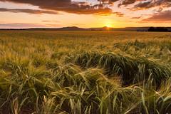 one day closer to harvest (andrew.walker28) Tags: landscape field barley crop harvest farm farmland felton queensland australia