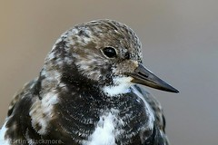 Turstone Portrait 63065 (wildlifetog) Tags: turnstone southeast seaview duver isleofwight uk mbiow martin blackmore britishisles bird birds beach british wild wildlifeeurope wildlife wader waders canon coastal coast closeup pajaro portrait nature england european eos7dmkii loiseau