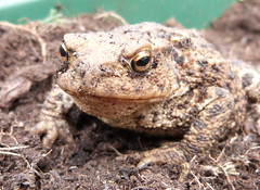 Common Toad (Bufo bufo), Ashton Keynes, Wiltshire, 19th October 2016. Found in an opened bag of garden compost. (john.grearson) Tags: toads amphibians taxonomy:binomial=bufobufo