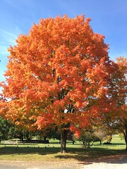Druid Ridge Cemetery ~ Autumn Perfection -  HTMT! (karma (Karen)) Tags: pikesville maryland baltimoreco cemeteries druidridgecemetery trees sugarmaples fallcolors htmt iphone