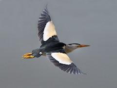 Tarabusino in volo (d.carradori) Tags: natura uccelli atmosfera fotografo danilo fotografare passionphotography acquatici tarabusino eliteimages fotoclubilbacchino