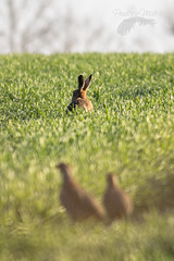 Dawn life (Penelope Malby Photography) Tags: dawn spring hare norfolk springwatch brownhare