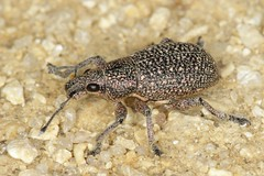 weevil indet. (gbohne) Tags: closeup canon insect flash beetle insects beetles insekt animalia arthropoda insekten kfer unidentified weevil coleoptera insecta curculionidae weevils pterygota rsselkfer curculionoidea taxonomy:class=insecta taxonomy:order=coleoptera taxonomy:family=curculionidae geo:country=spain taxonomy:phylum=arthropoda taxonomy:subclass=pterygota taxonomy:suborder=polyphaga taxonomy:superfamily=curculionoidea 100mmf28canon taxonomy:infraclass=neoptera geo:region=europe taxonomy:infraorder=cucujiformia