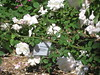 IMG_0563 (ceztom) Tags: city trip roses plant cemetery rose by garden square with native cemetary hamilton visit betty historic rivers april sacramento 20 davis speech 19 rosegarden cezanne perennials opengardens kathe cez 1000broadway april20 2013 930–200