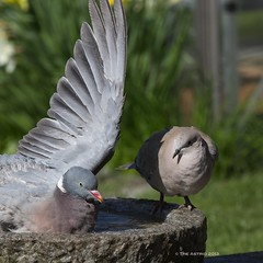 You're taking a looooong time... (The Astrid) Tags: square bath pigeons crop squarecrop odc collareddove woodpigeon