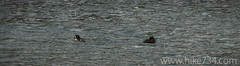 """Barrow's Goldeneyes • <a style=""""font-size:0.8em;"""" href=""""http://www.flickr.com/photos/63501323@N07/8713122584/"""" target=""""_blank"""">View on Flickr</a>"""