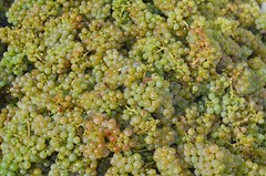 Riesling post-harvest, 2013 (stefano lubiana wines) Tags: door travel autumn winter red summer vacation portrait panorama white holiday green primavera vintage river landscape miniature vineyard spring noir grigio tour sheep wine derwent champagne harvest vine australia clean adventure soil valley crop babydoll bunch lamb vista tasmania organic hobart merlot pick tassie blanc cellar grape sparkling pruning pinot alfresco collina viticulture riesling chardonnay sauvignon biodynamic prestige ferment oenology sasso southdown nebbiolo viniculture wwwwinetasmaniacomau wwwslwcomau wwwwineaustraliacom