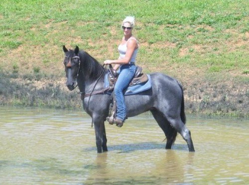 Beautiful Blue Roan Gaited Trail Gelding