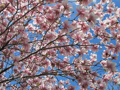 IMG_2125 (quirkyjazz) Tags: trees clouds spring lookingup magnolias blueskky