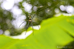 Nephila spider in a spice garden (BasementVision) Tags: world ocean new uk travel vacation brown holiday black male london film alex female canon garden photography james