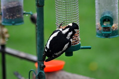Female Great Spotted Woodpecker (Dave McGlinchey) Tags: birds avian greatspottedwoodpecker rspb gardenbirds