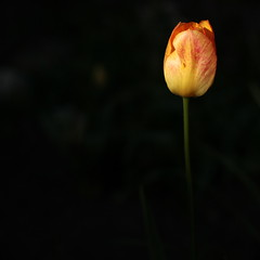 last beauty (summer_57) Tags: canon tulip 1450 eos5d