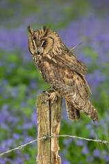 Long-eared Owl (Asio otus) (steven whitehead) Tags: flowers bluebells canon flying woods eagle display little snowy owl owls barnowl tawny longearedowl snowyowl longeared littleowl tawnyowl shortearedowl shorteared 2013 1dx
