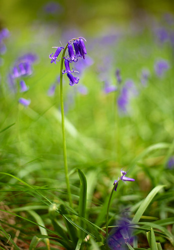 Bluebells, Ashridge Estate