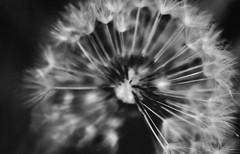 A picture of a picture (not the best quality)- Taken during my first year of A level photography (Olivia Bayly) Tags: blackandwhite macro cute closeup photography dandelion wish