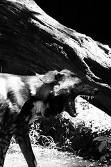 Wild Dog Yawning (stuffstuffstuffstuff) Tags: white black teeth mario rawr p showing yawning wilddog packhaiser