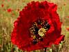 amapola *   con detalles dorados (jacilluch) Tags: red flower macro fleur rojo flor blossoms poppy rosella silvestre coquelicot papaver poppys amapola cornpoppy papoula gineceo adormidera encarnado ababol mitxoleta papaverorosso papuela amapolacomun