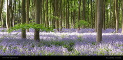 Bluebell Woods (H4RSX) Tags: bluebells beechtrees micheldever micheldeverwoods
