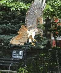 Christo (Goggla) Tags: nyc new york manhattan east village tompkins square park urban wildlife bird raptor red tail hawk adult male christo molt molting