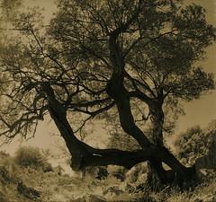 The Three Brothers (raf6x6) Tags: sky tree 120 6x6 analog forest coast blackwhite grove kodak olive croatia 2nd lith rodinal bume baum lithprint lun chloride se5 kroatien 80mm pentaconsix ammonium oliven biometar moersch bromesko catechol