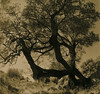 The Three Brothers (raf6x6) Tags: sky tree 120 6x6 analog forest coast blackwhite grove kodak olive croatia 2nd lith rodinal bäume baum lithprint lun chloride se5 kroatien 80mm pentaconsix ammonium oliven biometar moersch bromesko catechol