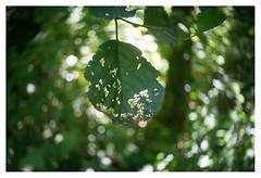 Wormholes (leo.roos) Tags: penti penti0 welta pentacon meyertrioplan3035 halfframe fixedlensrefittedfordigital mountconversion vastelens adaptedtoemount darosa leoroos sonyflickraward a7 green groen leaf leaves blad bladeren swirly