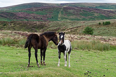 Dartmoor foal and filly (Simply Lewis) Tags: filly canonpowershotg9x landscape dartmoor devon england horses foal pony ponies