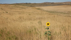 lone sunflower (jimbobphoto) Tags: prairie grasslands flower sunflower montana