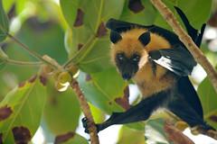 Cheeky fruit bat (FofR) Tags: fruitbat bat animal wildlife portrait takamaka seychelles northisland island paradise wild bats tree fruit hanging eyes cheeky tongueout