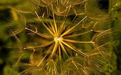 like fireworks (Yasmine Hens) Tags: nature vert green gold or explosion lumire macro art artistic artistique plante hensyasmine hens yasmine flickr namur belgium wallonie europa brilliant brillant