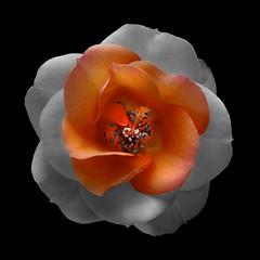 Rose O (Pixel Fusion) Tags: rose flower flora nature macro nikon d600