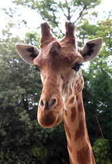 173 (Antonio Sanchez Garrido) Tags: girafa girafe giraffe giraffa