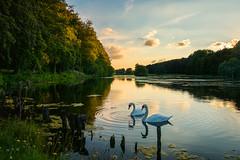 Immer Zusammen (Gerrit Vandendael) Tags: park tervuren vijver zwanen zonsondergang natuur nature samen koppel sunset swan bird vogel